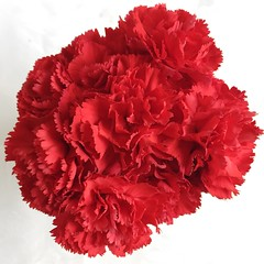Red frills (Caz Ann) Tags: 100flowers