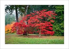 Acer Glade (Steve-T201) Tags: acers colour autumn westonbirt nationalarboretum