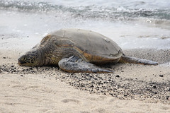 Tortue verte 6 (i_goupil) Tags: tortue verte green turtle ocean sea eau water mer beach sand aquatique carapace hawaii bigisland kalaoa