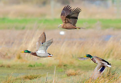 "Marsh harrier ""on a duck hunt"" (badger2028) Tags:"