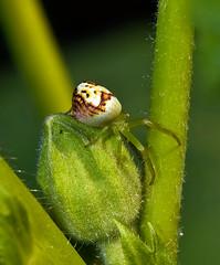 Fat Crab Spider On Flower Bud (aeschylus18917) Tags: danielruyle aeschylus18917 danruyle druyle ダニエルルール ダニエル ルール tokyo 東京 japan 日本 nikon d700 105mmf28gvrmicro macro 105mmf28 nikkor105mmf28gvrmicro spider arachnida araneae thomisoidea thomisidae crabspider 花 flowers nature カニグモ flowerspider ハナグモ opisthothelae nikond700 saitama saitamaprefecture 埼玉県 saitamaken hannō 飯能市 koma arachnid クモ 蜘蛛 105mm pxt グモ misumenopstricuspidatus ヒメハナグモ