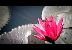 La waterlily and le dragon fly~ (Vu Pham in Vietnam) Tags: pink flowers flower macro closeup asia southeastasia vietnamese waterlily lily lotus dragonfly bokeh candid vietnam  hue vu canoneosdigitalrebelxt hoa indochina hu    imperialcity vitnam  hoasng hu    huecity chunchun msen ini c lsen thurathienhue kinh tinhkhit raininvietnam thnhhu commentwithimageswillbedeletedsosorryforthis