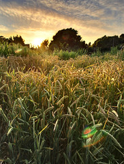 Golden Grains (D.H. Parks) Tags: sunset food berkeley gardening wheat farming grain wideangle flare agriculture edibleschoolyard ultrawide hdr goodlight alicewaters martinlutherkingjrmiddleschool enfuse exposurefusion olympus918 olympuszd918mmf4