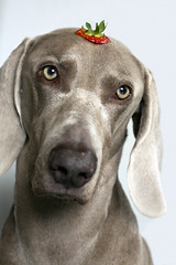 5/12 strawberry head (dohlongma) Tags: summer dog project strawberry head may weimaraner getty months 12 12months monthly 2011 explored dohlong 12monthsfordogs