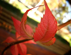 Autumn leaves (xNstAbLe) Tags: autumn autumnfoliage light red wallpaper italy macro fall leaves foglie branch colours autumnleaves depthoffield fallfoliage wallpapers autunno colori soe luce rosse rora rametto excapture