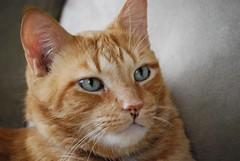Harry (,,,^..^,,,) Tags: cats nikon tabby harry orangetabby 55200mm kissablekat nikond40x d40x