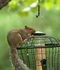 The Adventures of Caroline (cont.) (linda yvonne) Tags: easterngraysquirrel nevergiveup wellread interestingness45 i500 specanimal theadventuresofcaroline everhopeful