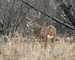 Big Buck (CR pix) Tags: canada calgary nature 10 wildlife horns deer antlers alberta buck cory whitetail nontypical readman d80