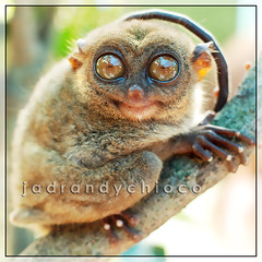 Philippine Tarsier (Tarsius syrichta) (jadran dychioco) Tags: smile animal animals photography monkey eyes philippines smiley bohol filipino species endangered primate tarsier philippine specie philippinetarsier tarsiussyrichta thatsclassy