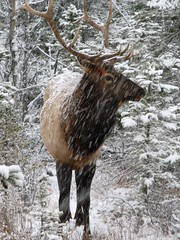 canadian wildlife (ktelqueen) Tags: november trees snow canada nature animal woods wildlife canadian antlers alberta banff snowing elk snowfall caribou amateur naturescall ar1 ktelqueen canonpowershota710is treeofhonor mariapowellphotography