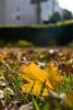 Fall into Autumn (olvwu   莫方) Tags: park autumn usa fall ga square leaf ground savannah fallenleaf jungpangwu oliverwu oliverjpwu olvwu jungpang 莫方 吳榮邦