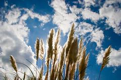 Songs of Fall (olvwu | 莫方) Tags: sky usa cloud sun flower fall reed grass ga georgia savannah jungpangwu oliverwu oliverjpwu flickrexplore explored olvwu jungpang 莫方 吳榮邦