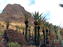 fire blackened palm trees in Masca