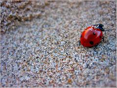 Coccinellidae IV - Me piro! (Carol.78) Tags: nature ladybug 2007 mariquita outstandingshots coccinelidae mywinners 5for2 yamiq eyewashdesing
