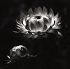 Inner Glow (L-T-L) Tags: white flower glow blak top20black abigfave diamondclassphotographer top20white top20everlasting