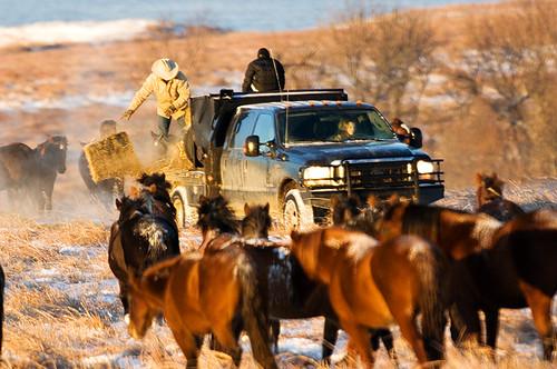 Feeding Horses 075