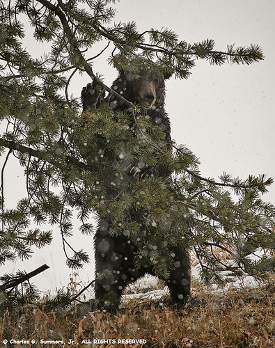 Grizzly Bear standing in snowstorm looking for Pine Nuts _MG_1972