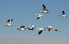 Snow Geese (Marco 5280) Tags: birds wildlife snowgeese lasvegasnmnwr