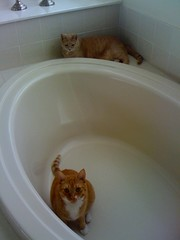 Kitties in the tub!!! (spilltojill) Tags: favorite orange pet cats pets cute cat orangecat leo favorites fave photoaday picaday faves piper 2008 charmed nugget pictureaday gingercat iphone orangecats nuggety piperleo impressedbeauty ourfurryfamilyphotobook httpwwwjilbeancom wwwjilbeancom