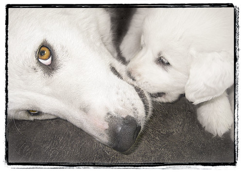 "Great Pyrenees Puppy with Mom ""Mom's Eye"""