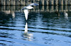 seagull reflected (jodi_tripp) Tags: reflection bird nature water vancouver wings pond seagull flight reflected wa klineline joditripp challengeyouwinner wwwjoditrippcom photographybyjodtripp