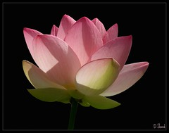 Sacred lotus blossom (Shandchem) Tags: pink flower lotus blossom sacred portfolio soe onblack indianlotus supershot dundeebotanicgardens outstandingshots nelumbonuciferagaertn sacredwaterlily anawesomeshot colorphotoaward bratanesque theunforgettablepictures overtheexcellence beanofindia goldstaraward macroflowerlovers nelumbiumspeciosum nymphaeanelumbo wonderfulworldofflowers awesomeblossoms 100commentgroup theperfectpinkdiamond kamal kamalanelumbonucifera