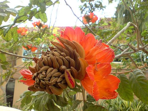Gorgeos flower tree at the Gulf Hotel