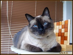 My sweet Jazz (Gabbcan) Tags: cat kitten kat chat with sweet group siamese gatos gato tonkinese only siames gatto katzen gatti biggest gatinho gatito the  minino beautifulcat siamesische jazzthecat kissablekat bestofcats kittyschoice pet100 catinpose 5prettykittycommentsparti catnipaddicts blueeyes gatoseneljardin ojosazules siamesibeautifulcat kotkatt gardencats catsandflowersoutdoorcat 5prettykittycommentspartii gabbcan friendsofzeusphoebe