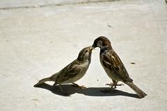 [フリー画像] [動物写真] [鳥類] [野鳥] [雀/スズメ] [親子/家族] [雛/ヒナ]     [フリー素材]
