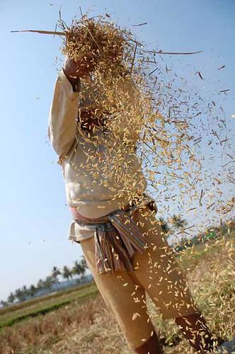 30052008_rice  harvesting_danuprimanto5