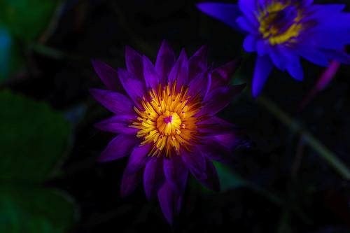 Thai Lotus flower in Hua Hin