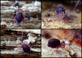 Ptenothrix palmata male Collage