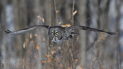 Chouette lapone / Great grey owl (Sylvain Prince) Tags: strixnebulosa