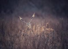 Frequent Flyer (marcusklotz2014) Tags: pnw asioflammeus owls shortearedowl telephoto birdwatching birdsofprey raptors washingtonstate wildlife explorewildlife