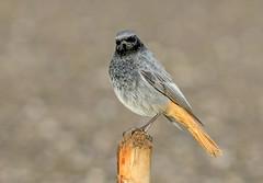 DSC4625  Black Redstart.. (jefflack Wildlife&Nature) Tags: blackredstart redstart redstarts birds avian animal wildlife wildbirds songbirds wintermigrant migrants countryside coastalbirds nature