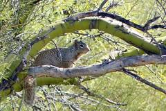 Rock squirrel takes in the view (jimsc) Tags: rocksquirrel squirrel fauna critter wildlife mammal rodent paloverde desert sonorandesert arizona tucson catalina pimacounty winter february noon yard windowshot kitchenwindow ngc panasonic lumix fz200 jimsc