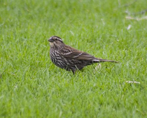rwblackbird_3