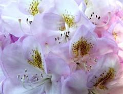 nature en blanc (dafres) Tags: white flower macro quality harmony ohhh délicatesse digitalcameraclub brillianteyejewel naturewatcher mimamorflowers auniverseofflowers