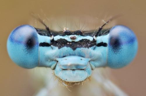 フリー写真素材, 動物, 昆虫, トンボ, イトトンボ,
