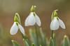 Schneeglöckchen-Trio (Gerosas) Tags: blume blüten bokeh erleninsel februar frühblüher galanthusnivalis kleinesschneeglöckchen makroplanart2100 natur offenblende pflanze rems remsmurrkreis schneeglöckchen trio waiblingen weiss winter zeiss
