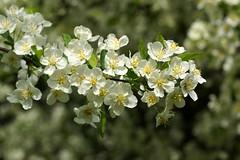 *** (pszcz9) Tags: przyroda nature natura kwiat flower bokeh wiosna spring zbliżenie closeup beautifulearth sony a77