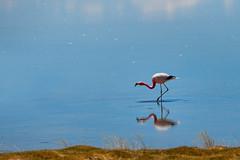 Crookneck. (david takes photos) Tags: losflamencosnationalreserve reservanacionallosflamencos salardetara tara atacama chile flamingo flamingoes sanpedrodeatacama regióndeantofagasta x