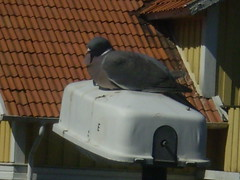 Resting (The Akermarks) Tags: bird pigeon vogel turkse duif fgel duva
