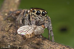 4.19 Jumping Spider ... in prey ... (liewwk - www.liewwkphoto.com) Tags: park wild food plant black macro green eye nature animal closeup fauna bug garden insect grey spider leaf jumping flora outdoor wildlife leg foliage hunter prey wilderness predator jumpingspider abdomen naturesfinest macroextreme abigfave buzznbugz macrolife extremeaward