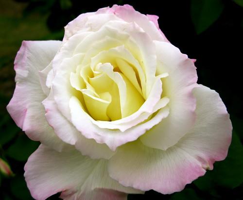 healing rose ...