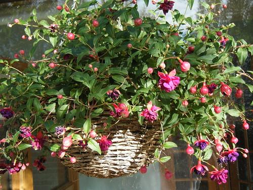 Fushcia Flower