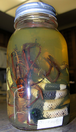 BONELUST - Dad's Pickled Jar of Texas Creatures from 1950: Faded Coral Snake, Giant Lubber Grasshopper, Giant Walking Stick, Scarab Beetle, Tarantula or Other Spider
