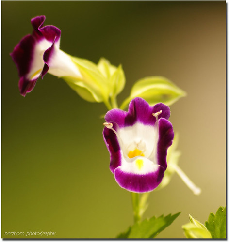 purple yellow white flower picture