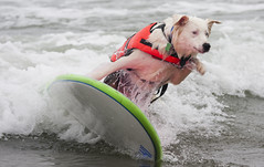 Get me off this thing! (San Diego Shooter) Tags: california wallpaper dog dogs sandiego surfer surfing guido desktopwallpaper surfingdog challengeyouwinner dogsurfing youvsthebest surfdogcompetitionimperialbeach guidothesurferdog thepinnaclehof sandiegodesktopwallpaper nathangoodsurferdog