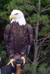 StoneZoo_62009_Eagle